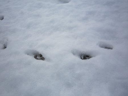 雪やコンコン、チワワはピョンピョン。7