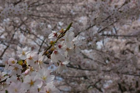 お花見ダッシュ!1