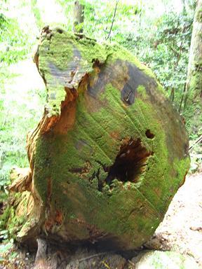 これ何の木だったかなぁ。