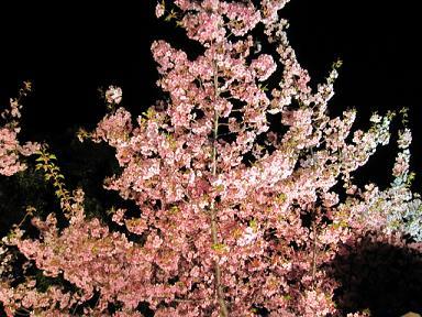 河津桜もライトアップ♪