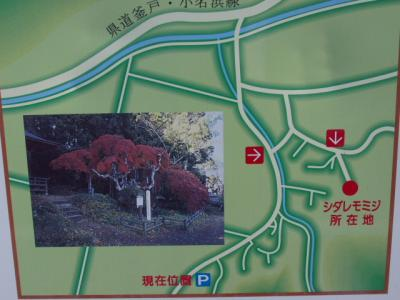 紅葉情報シダレモミジ20091015-1