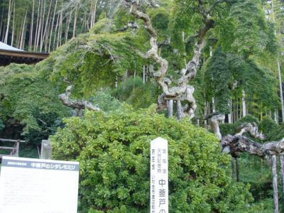 紅葉情報シダレモミジ20091015-2
