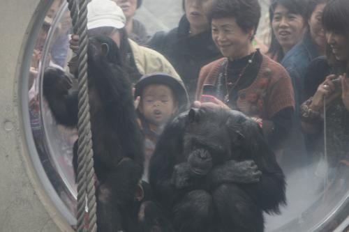 チンパンジーを食い入るように見る次男
