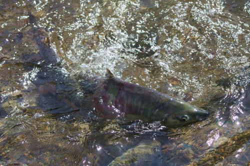 中津川を遡上(そ上)する鮭(さけ)