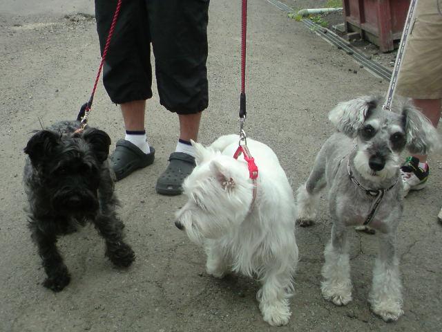 テリア犬3匹