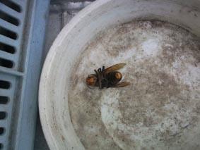 キイロスズメバチの雄姿