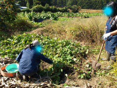 園芸部の活動「芋掘り」