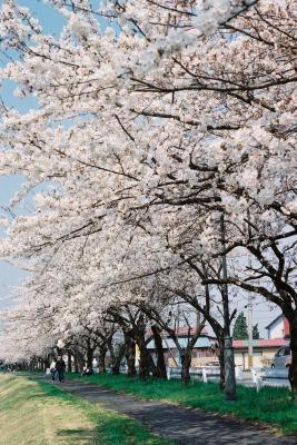 宮川千本桜_2011/04/27
