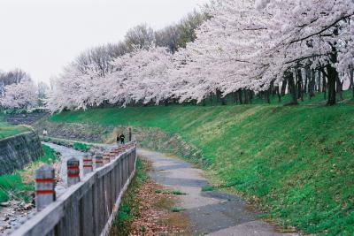 会津大学の桜並木