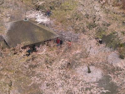 鶴ヶ城天守閣から花見