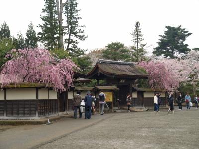 茶室麟閣のしだれ桜