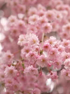 阿弥陀寺の桜