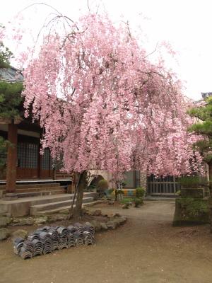 阿弥陀寺と桜