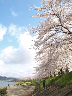 桧木内川堤の桜並木@角館