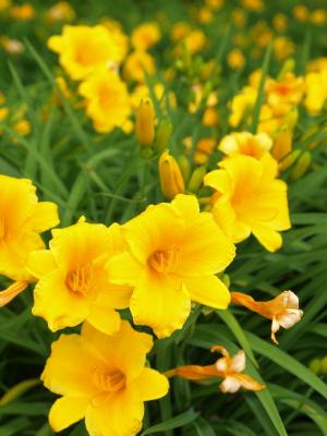 黄色い花@会津レクリエーション公園