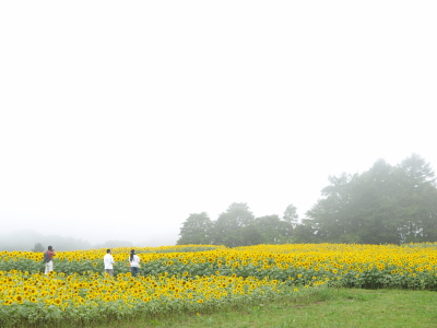 ヒマワリ@郡山布引風の高原