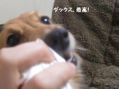 ダックスは魅力的な犬種です。