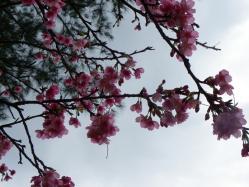 2012.1.24桜1