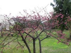 2012.1.24桜2