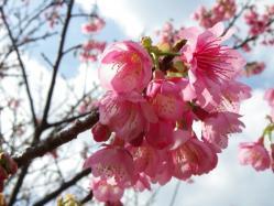 2012.2.1桜