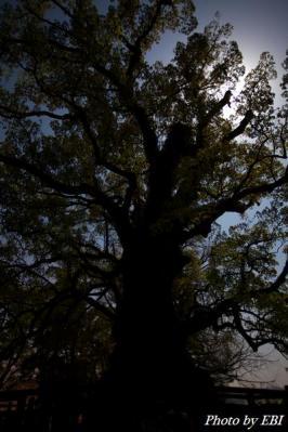 蒲生の大楠の樹