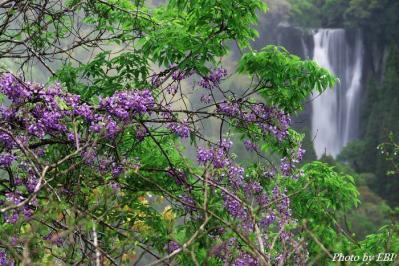 犬飼の滝と藤