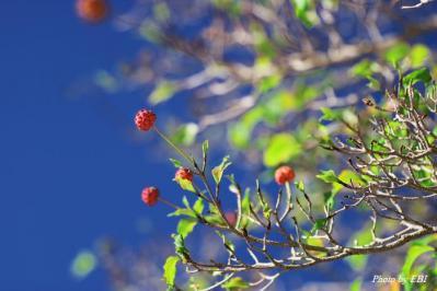 ヤマボウシの果実_02