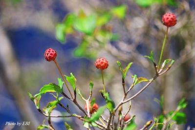 ヤマボウシの果実_03