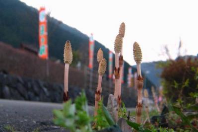 道の駅五木に咲いてたツクシ