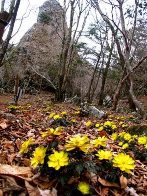 仏石と福寿草
