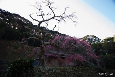 阿久根の枝垂れ梅