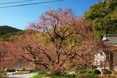 川内の枝垂れ梅
