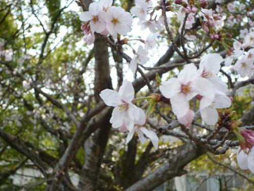 0404_桜