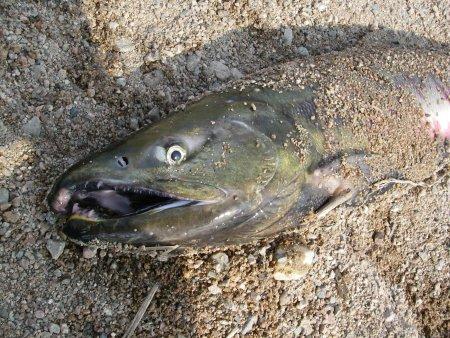20091109_salmon3.jpg