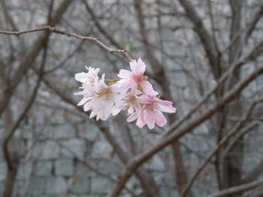 丸亀城桜3