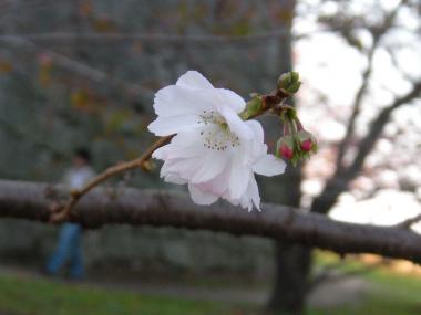 丸亀城桜2