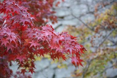 丸亀城紅葉1