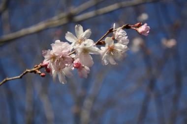 丸亀城二の丸の桜1