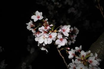 11夜桜5