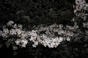 11夜桜2
