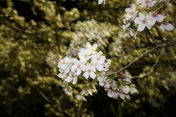 11夜桜4