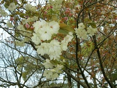 丸亀城の黄色い桜