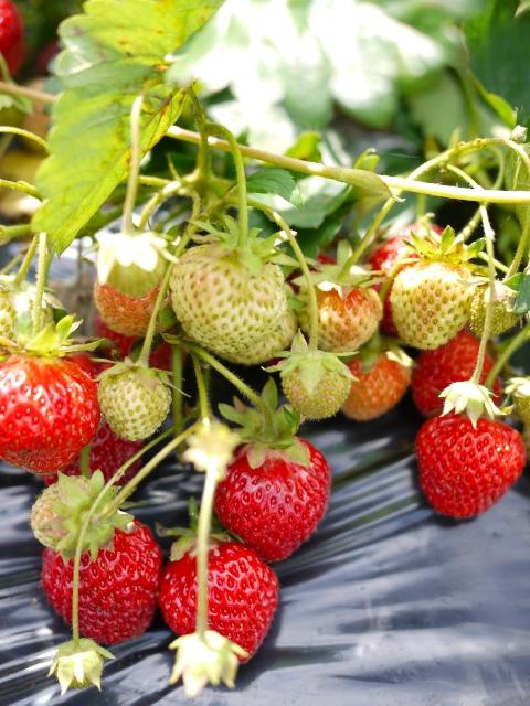 Strawberry_06.jpg