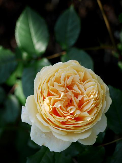 ecorin-rose_04t.jpg