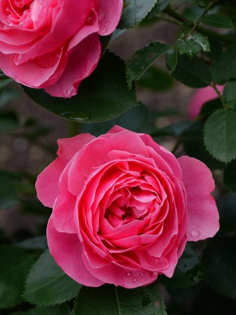 ecorin-rose_05t.jpg