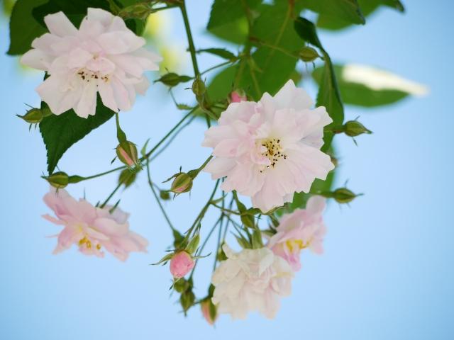 ecorin-rose_06t.jpg