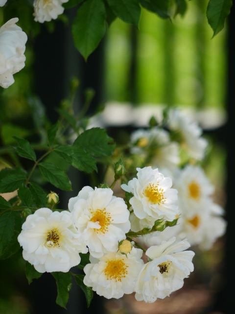ecorin-rose_14t.jpg
