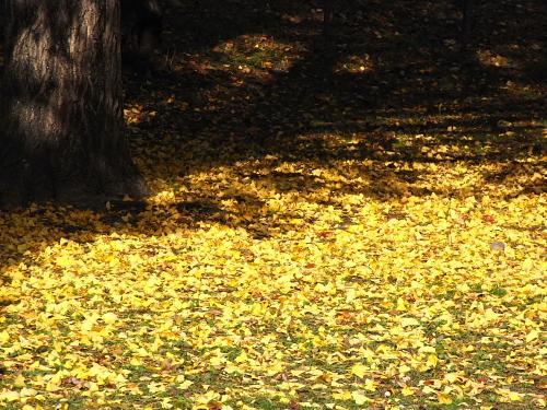鶴ヶ城駐車場ではメスの木の下に銀杏がたくさん落ちていた。この臭いちょっと苦手・・・写真撮るとき踏んずけて車の中までクサかったよ・・・