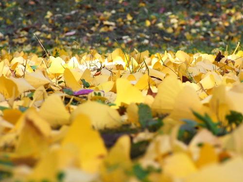 イチョウの落ち葉ってキレイだね~~、臭いがなければ・・・