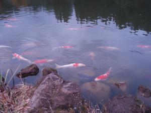 091018池の鯉 秋編